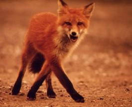 Tájékoztató – Rókák veszettség elleni orális immunizálása