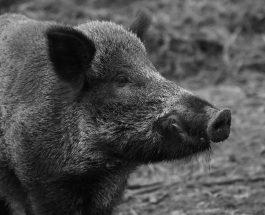 A Hajdú – Bihar Megyei Kormányhivatal határozata az afrikai sertéspestis miatt korlátozott területekre